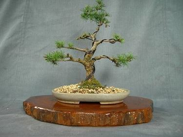 Come curare un bonsai di larice fare bonsai bonsai larice for Piante per bonsai