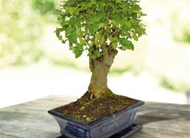 Come curare un bonsai di ligustrum