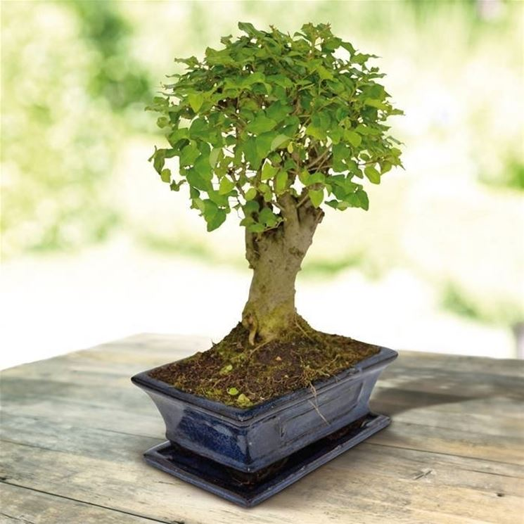 Come curare un bonsai di ligustrum fare bonsai i for Olivo bonsai prezzo