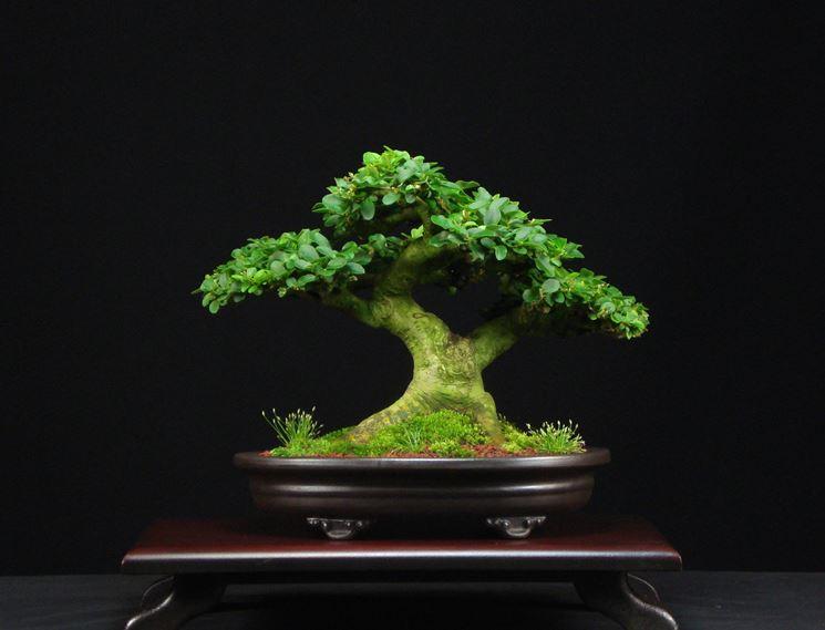 bonsai di ligustro
