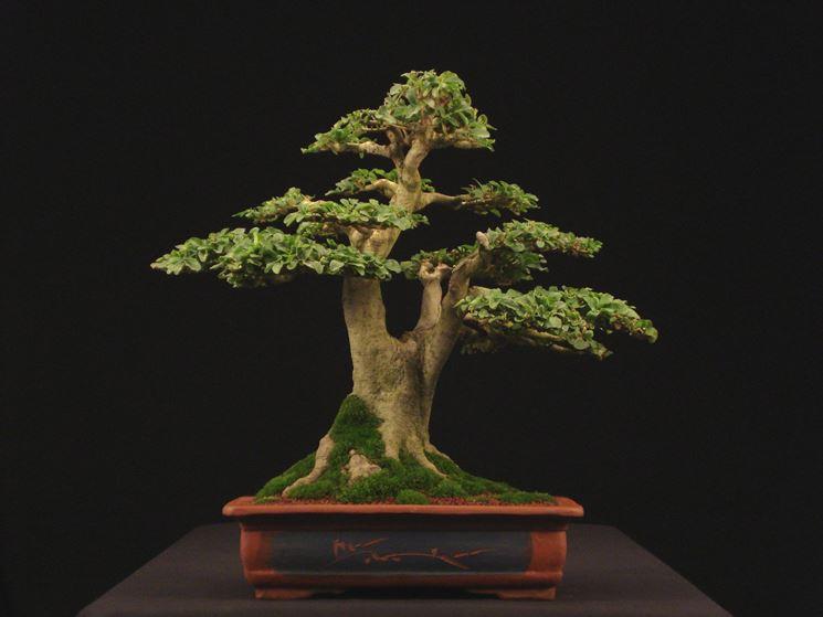 bonsai ligustrum