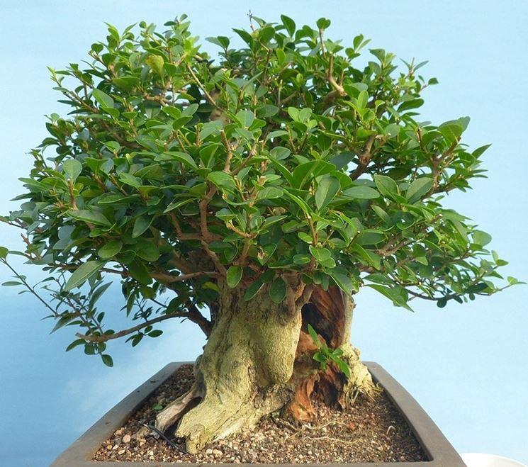 bonsai ligustro