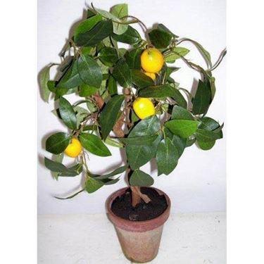 Bonsai limone con frutti