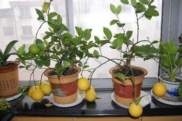 bonsai rami cadenti