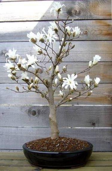 Bonsai magnolia