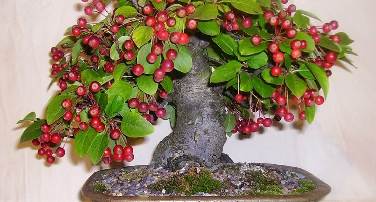 Come curare un bonsai di melo fare bonsai bonsai melo for Bonsai costo
