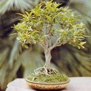 melograno bonsai