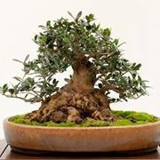 Curare bonsai olivo