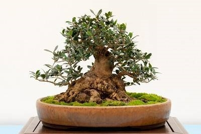 Come curare un bonsai di olivo fare bonsai for Bonsai costo