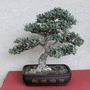bonsai di ulivo