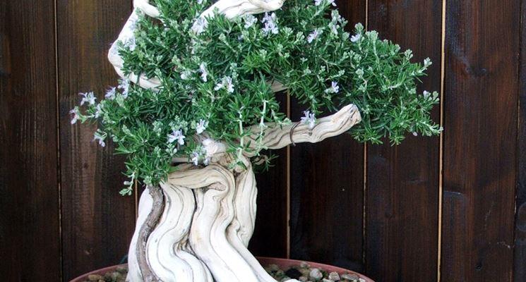 bonsai rosmarino curvo
