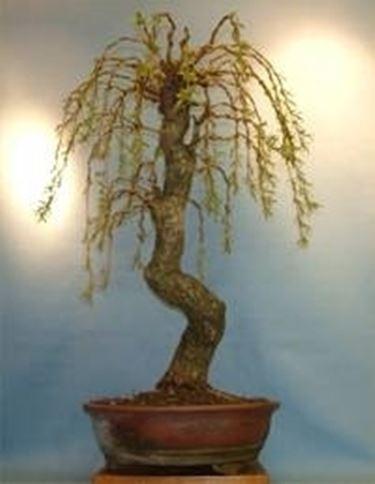come curare un bonsai di salice piangente fare bonsai