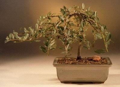 Come curare un bonsai di salice piangente fare bonsai for Tipi di bonsai