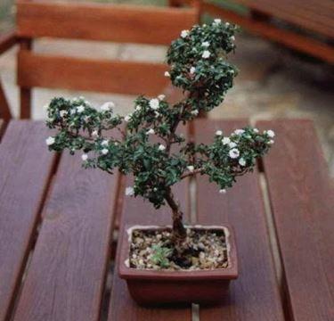 fioritura bianca bonsai di Serissa