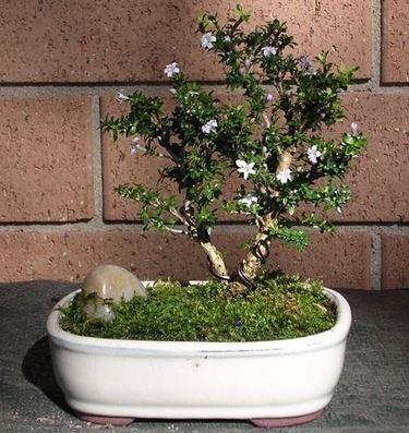 fiori rosa bonsai Serissa giapponese
