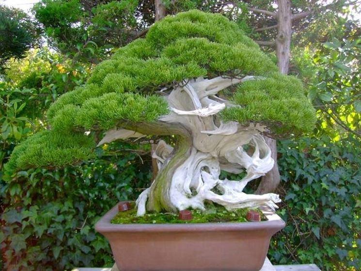 bonsai vite grandezza