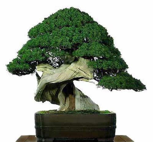 Come curare un bonsai di vite fare bonsai bonsai vite - Dessin bonzai ...