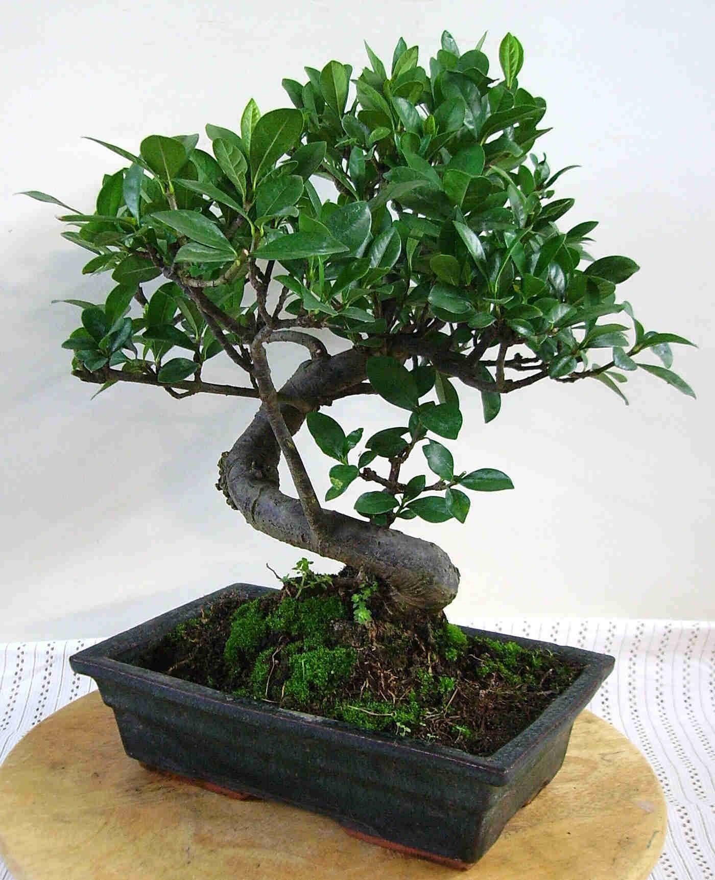 Come curare bonsai fare di una mosca - Japanische zimmerpflanzen ...