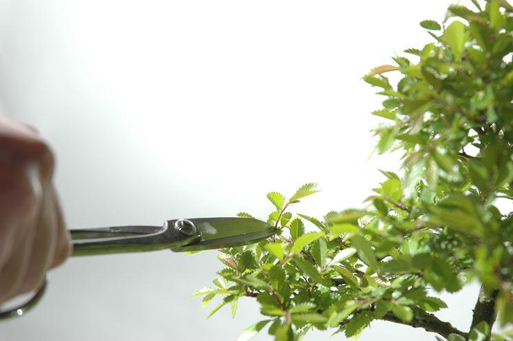 Come potare un bonsai - Fare Bonsai - Larte della potatura: come potare ...