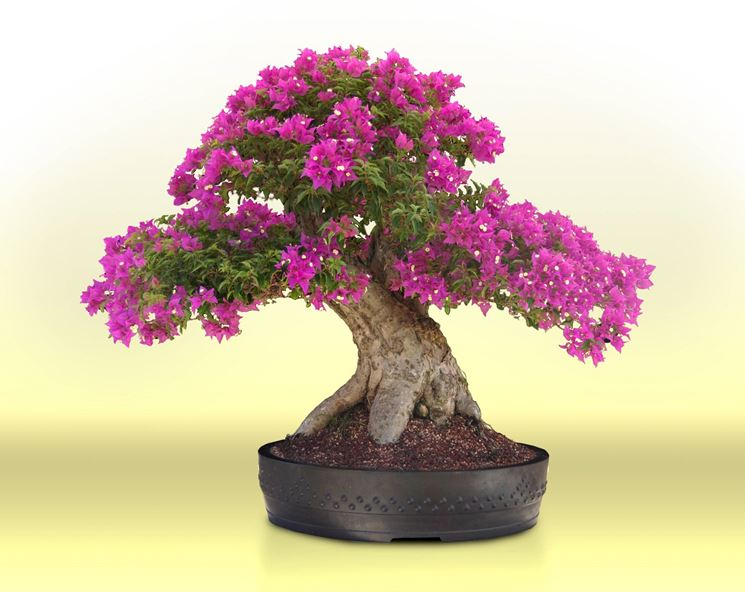 Creare un bonsai da zero fare bonsai creare un bonsai for Bonsai costo