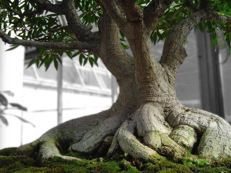 Preferenza Creare un bonsai da zero - Fare Bonsai - Creare un bonsai da zero JE72