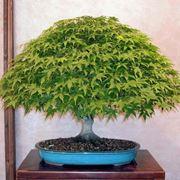 Esempio di bonsai di acero. Fonte: www.bonsaiclubtorino.it.
