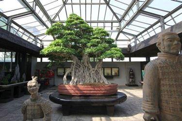 Coltivare il bonsai di acero. Fonte: www.grandigiardini.it