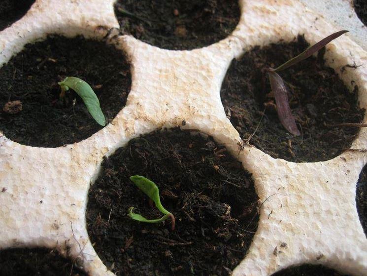 Esempio di semina bonsai di acero. Fonte: www.forum.gairdinaggio.it
