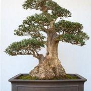 come fare un bonsai
