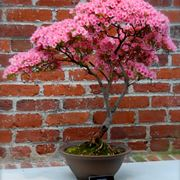 Bonsai di rose da esterno
