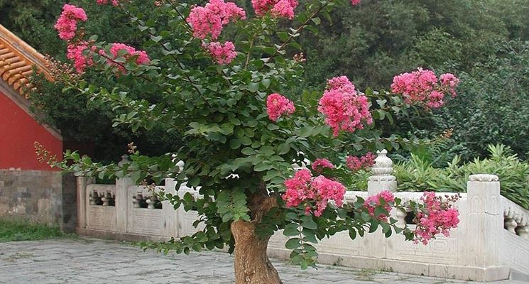 Grande bonsai di rose da giardino