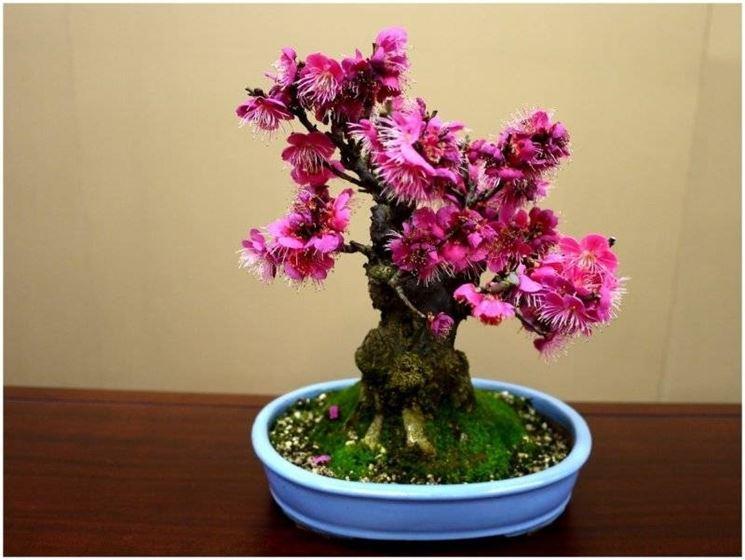 Bonsai di rose da interno