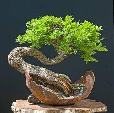 bonsai quercia curvo