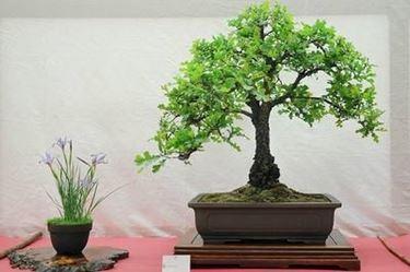 bonsai foglie