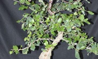 patologie bonsai quercia