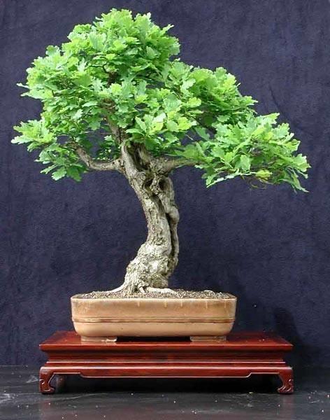 Cura bonsai di quercia fare bonsai bonsai quercia cure - Cura dei bonsai in casa ...