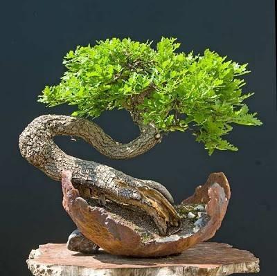 Cura bonsai di quercia fare bonsai bonsai quercia cure for Tipi di bonsai
