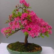bonsai azalea