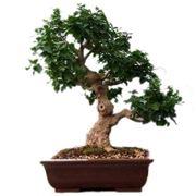 Fare bonsai con piante da frutto for Bonsai cura