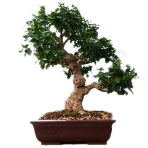 Cura bonsai di mandarino fare bonsai curare un bonsai for Bonsai cura