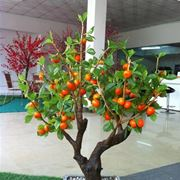 bonsai pesco grande
