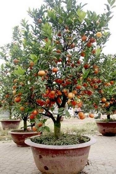 Cura bonsai di pesco fare bonsai bonsai da frutto pesco for Bonsai cura