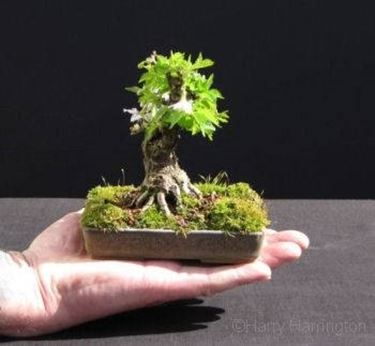 malattie bonsai