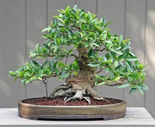 Cura di un ficus bonsai fare bonsai for Bonsai costo