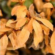 bonsai foglie gialle