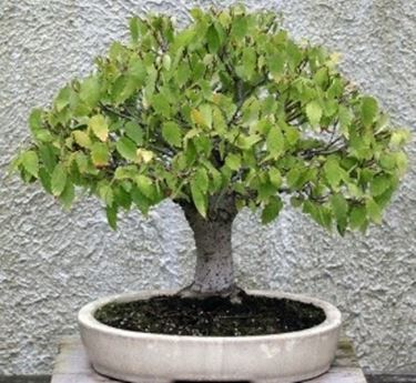 bonsai ingiallito