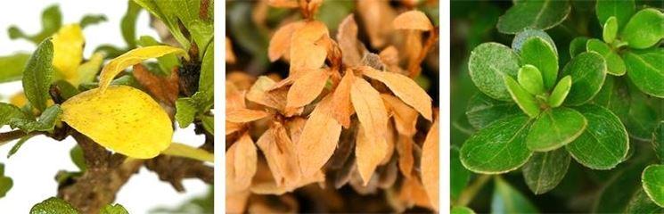 bonsai <strong>foglie gialle</strong>
