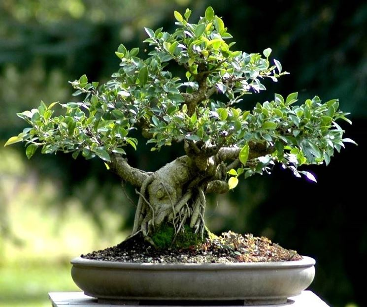 ficus retusa rinvanso fare bonsai