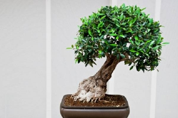 Il bonsai stili e tecniche fare bonsai come realizzare for Olivo bonsai prezzo