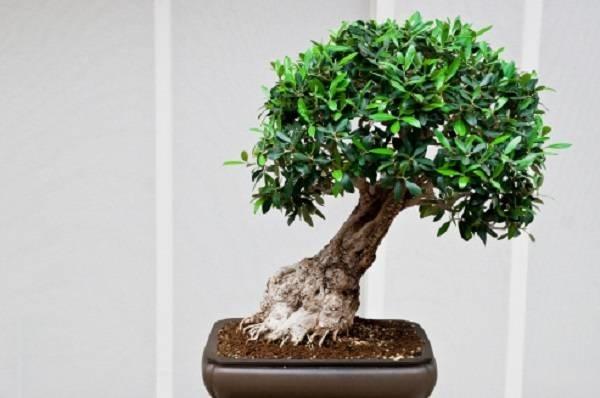 Il bonsai stili e tecniche fare bonsai come realizzare for Bonsai comprare